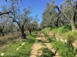Strada Verde - tratto tra gli ulivi
