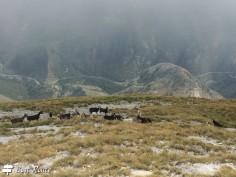 Uno sguardo alle capre da più vicino