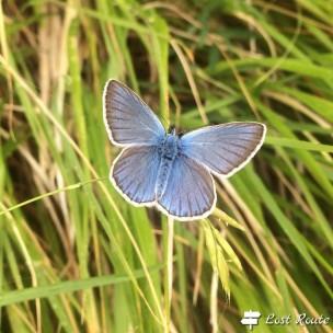 Adonis Blue, Monte Sumbra #1