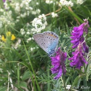 Adonis Blue, Monte Sumbra #2